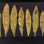 Ασθένειες Ελιάς Ενημερωτικό Δελτίο