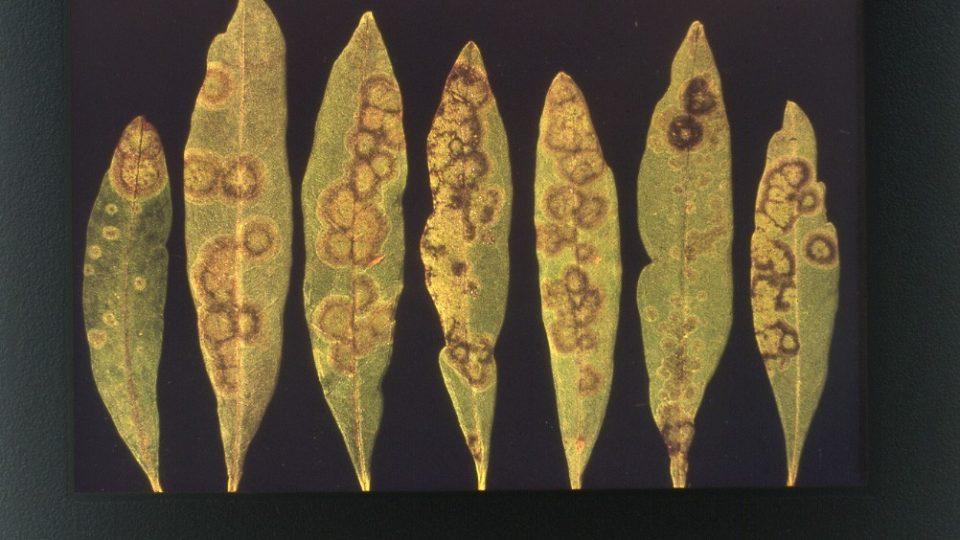 φυτώρια ελιάς Βερτούδος blog