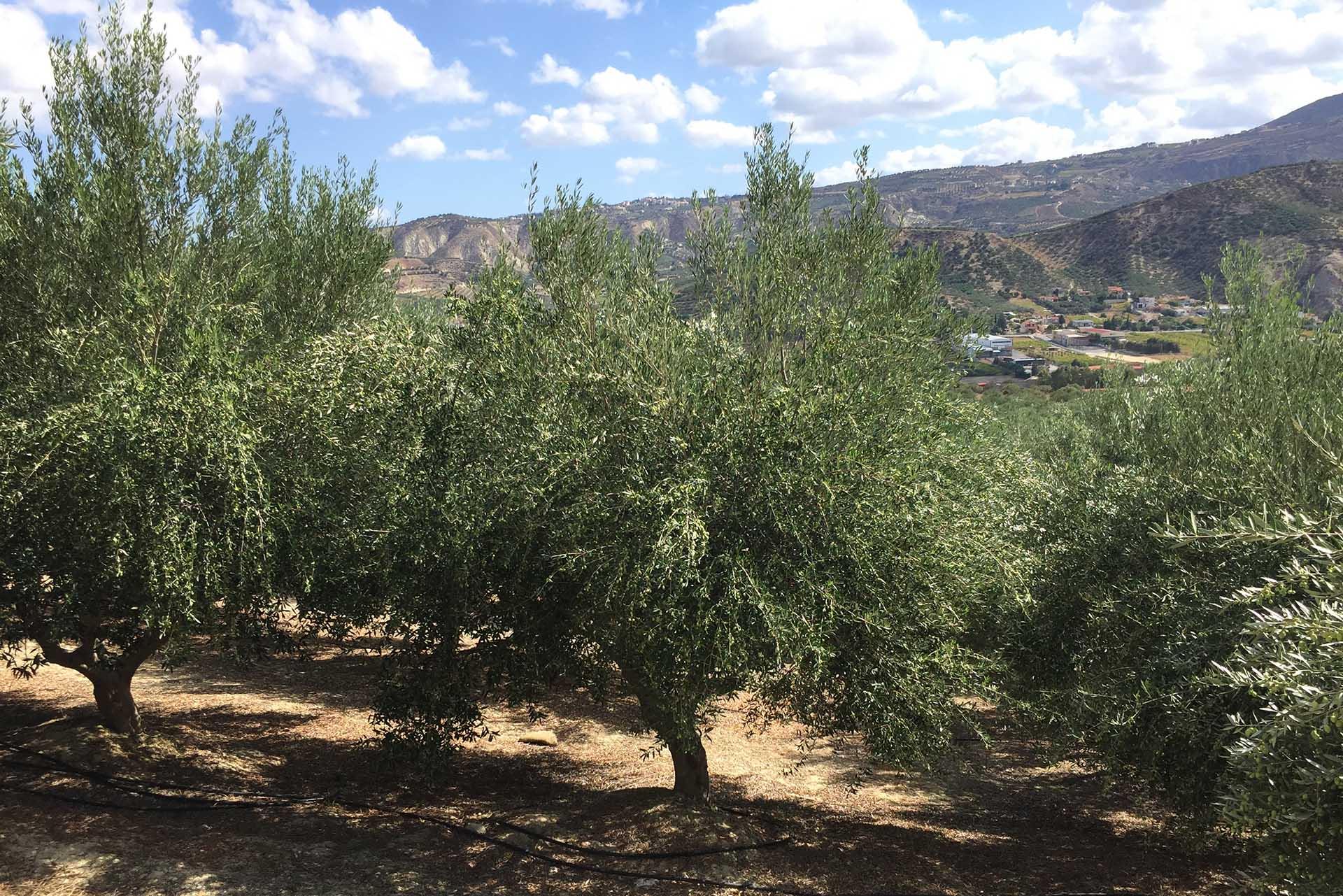 φυτώρια ελιάς Βερτούδος