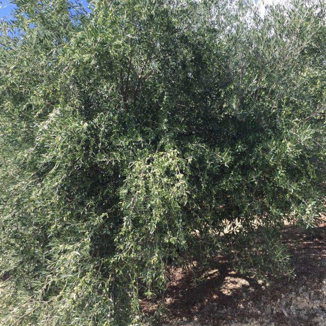 φυτώρια ελιάς