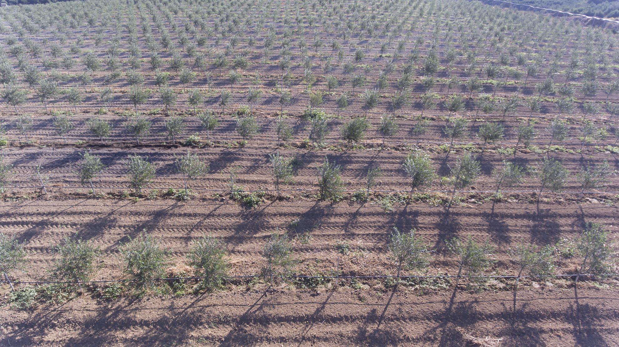 Υπέρπυκνη Γραμμική Καλλιέργεια της Κορωνέικης Ελιάς
